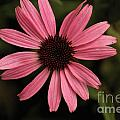 Pink Daisy by William Norton
