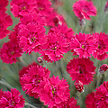 Pink Dianthus Flowers by Suzanne Powers