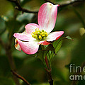 Pink Dogwood 2 by Andrea Anderegg