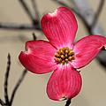 Pink Dogwood 5 by Carolyn Fletcher