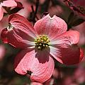 Pink Dogwood At Easter 3 by Reid Callaway