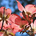Transparent Glory Pink Dogwood Easter Flower Art by Reid Callaway