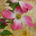 Pink Dogwood Bloom by Todd Hostetter