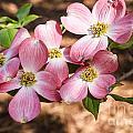 Pink Dogwood Blooms by Terri Morris