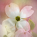 Pink Dogwood Blossoms by Mary Timman