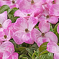 Pink Dogwood Blossoms With Raindrops by Sharon Talson