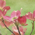 Pink Dogwood by Mel Hensley