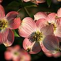 Pink Dogwood by Richard Rutan