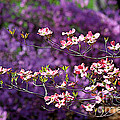 Pink Dogwood With Purple Azaleas by Catherine Sherman