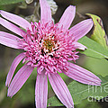 Pink Double Delight Echinacea by Teresa Mucha
