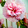 Pink Double Hollyhock by Robert Bales