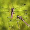 Pink Dragonflies by Saija  Lehtonen