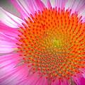 Pink Echinacea  by Wendy Yee