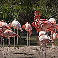 Pink Falmingos At The San Diego Zoo by Randall Nyhof