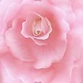 Pink Fantasy Begonia Flower by Jennie Marie Schell
