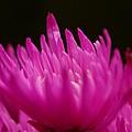 Pink Fire 3 by Carol Lynch