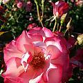Pink Flaminco Rose 2 by Caryl J Bohn