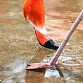 Pink Flamingo At A Zoo In Spring by Alex Grichenko