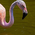 Pink Flamingo by Garry Gay