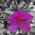 Pink Flower 2 by Maggy Marsh