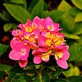 Pink Flower Austin by Kristina Deane