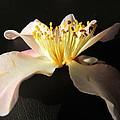 Pink Flower Azalea . by Joyce Woodhouse