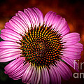 Pink Flower Blooming by Jason Picard