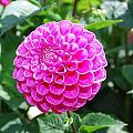 Pink Flower by Bradley Bennett