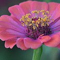 Pink Flower by Maria Urso