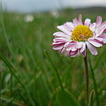Pink Flower by Mesaros Ronel