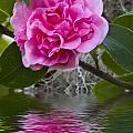 Pink Flower Reflection by Sharon M Connolly