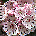 Pink Flowered Mountain Laurel by William Tanneberger