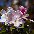 Pink Flowering Crabapple Blossoms by Kathy Clark