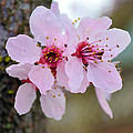 Pink Flowering Tree Floral by P S