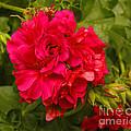 Pink Flowers Blooming by Kenny Bosak