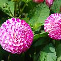 Pink Flowers by Bradley Bennett