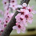 Pink Flowers On A Flowering Tree by P S