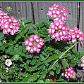 Pink Flowers by Sanford