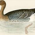 Pink Footed Goose by Beverley R Morris