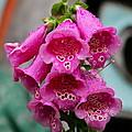 Pink Foxglove by Karon Melillo DeVega