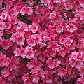 Pink Full Frame Azalea Blossoms by Kathy Clark