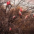 Pink Galahs by Glen Raisin