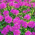 Pink Garden Flowers by Aimee L Maher ALM GALLERY