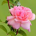 Pink Gem by Frank Townsley