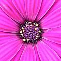 Pink Geranium by FL collection