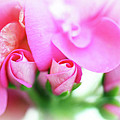 Pink Geranium by Lisa Knechtel