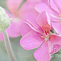Pink Geraniums by Betty LaRue