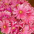 Pink Gerbera Daisies by Art Block Collections