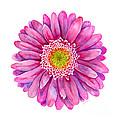 Pink Gerbera Daisy by Amy Kirkpatrick