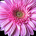 Pink Gerbera Daisy Close Up by Garry Gay